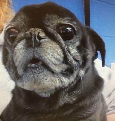 Zanesville Oh 53582 Senior Scrappy Is A Pug Mix For