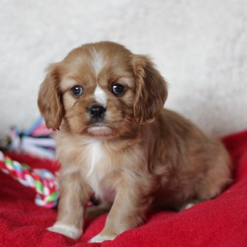 Cavalier King Charles Spaniel Puppy For Sale In Gap Pa Adn 61389