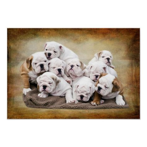 English Bulldog Puppies Poster Zazzle Com Cute Dogs For Sale