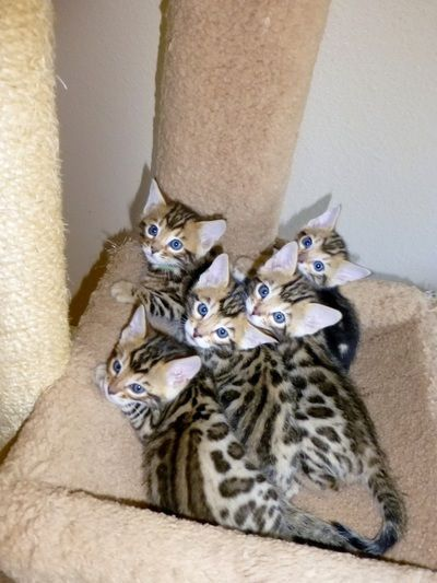 Bengal Kittens For Sale San Diego San Diego Bengal Black Mountain Be Bengal Kittens Ideas Of Bengal Kittens Bengal Kitten Bengal Kittens For Sale Kittens