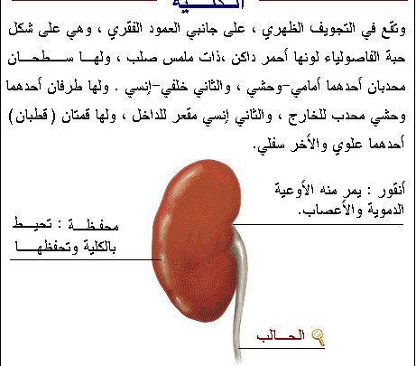 معلومات عامة عن جسم الانسان مهمة ومفيدة Fruit Cantaloupe Food