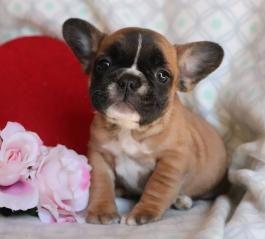 Sunny Girl French Bulldog Puppy For Sale In Wilkes Barre Pa Lancaster Puppies Bulldog Puppies For Sale French Bulldog Bulldog Puppies