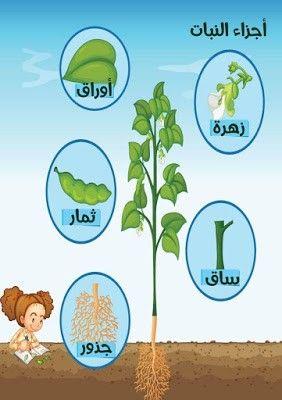 Pin By تباشير مريم الفهدي On لوحة أجزاء النبات Kindergarten Worksheets Education Arabic Resources