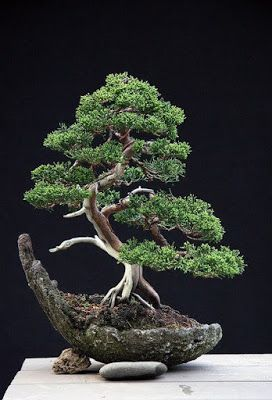 660 Ideas De Bonsai Y Terrarium Bonsai árboles Bonsai Bonsais