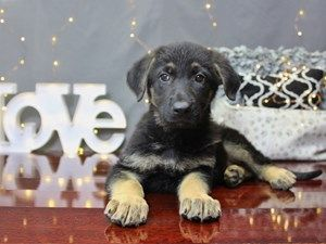 Dogs And Puppies For Sale In Ohio Dapple Dachshund Puppy Puppies Dapple Dachshund