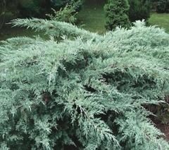 Grey Owl Juniper Juniperus Virginiana Grey Owl Finely Textured Evergreen Shrub With Arching Branches Clothed Wit Evergreen Shrubs Live Plants Garden Shrubs