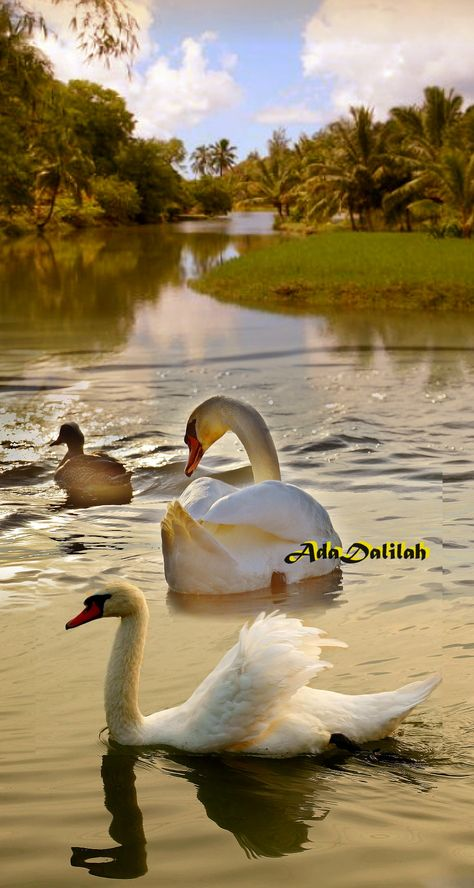 Swan image photo montage 4 images blend to create a single art image
