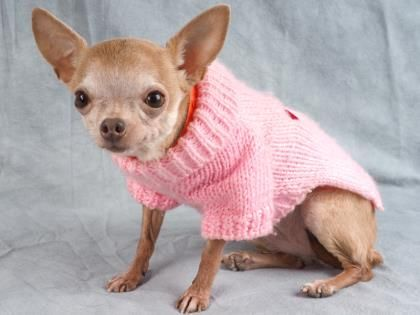 Adopt Paris A Lovely 10 Years Dog Available For Adoption At Petango Com Paris Is A Chihuahua Short Coat And Small Dog Adoption Puppy Adoption Dog Adoption