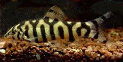 Yoyo Loach Botia Almorhae Almorhae Botia Loach Yoyo Aquarium Fish Tropical Fish Aquarium Cool Fish