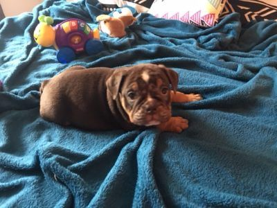 English Bulldog Puppy For Sale In Powhatan Va Adn 71493 On