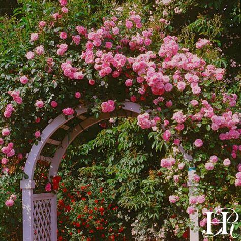 Lavender Lassie Rose - Hybrid Musk - Very Fragrant - Heirloom Roses