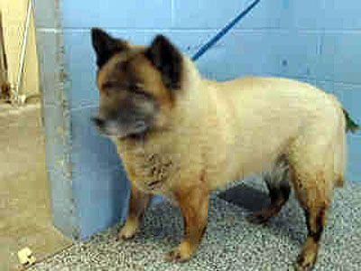 Chow Chow Dog For Adoption In Ventura Ca Adn 764604 On