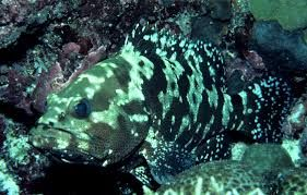 Brown Marbled Grouper Google Search Fish Pet Grouper Pets