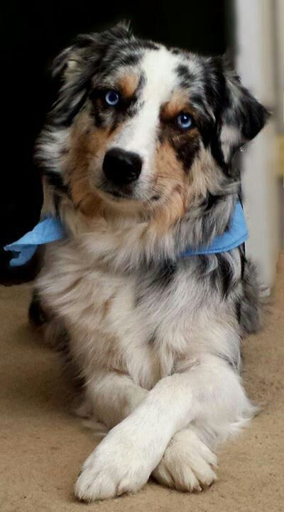 Blue Merle Australian Shepherd Love To See Mattie When She Lays With Her Paws Crossed Like This Australi Collie Hund Aussie Welpen Australische Schaferhunde