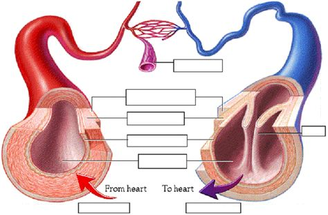 biology anchor charts | label the artery,capillary and vein  also label the  layers of each