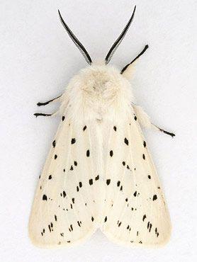Motte Weisses Hermelin Spilosoma Lubricipeda Motte Hermelin Nachtfalter