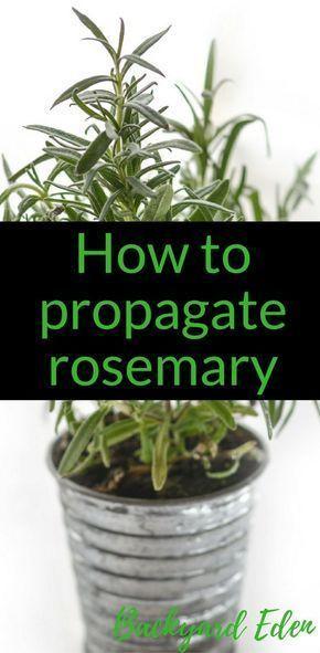 How to propagate Rosemary - The easy way - Backyard Eden