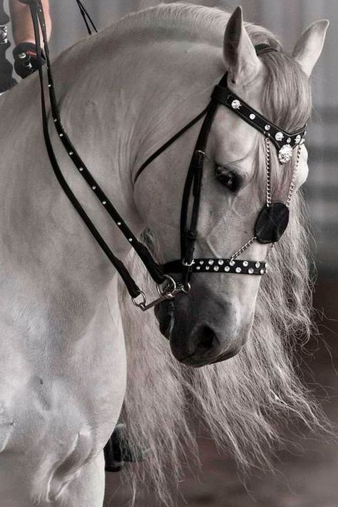 The Andalusian, also known as the Pure Spanish Horse or PRE (Pura Raza Española), is a horse breed from the Iberian Peninsula, where its ancestors have lived for thousands of years. All The Pretty Horses, Beautiful Horses, Animals Beautiful, Beautiful Gorgeous, Cute Horses, Horse Love, Horse Photos, Horse Pictures, Andalusian Horse