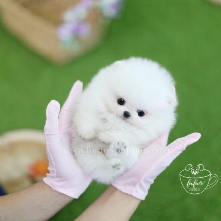 Foufou Puppies Canada S 1 Source For Teacup Puppies Teacup Puppies Cute Baby Puppies Pomeranian Puppy Teacup