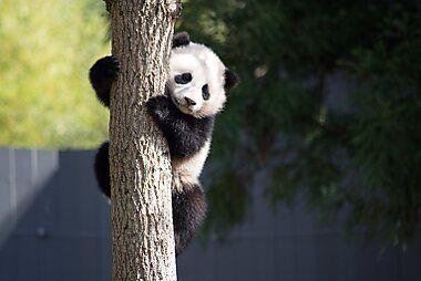 What To See In Washington D C In 2021 Panda Bear Panda Copenhagen Zoo