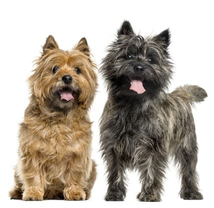 Cairn Terrier A Toto Ly Awesome Dog Breed Tiny Dog Breeds