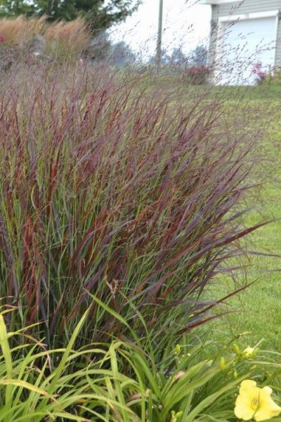 Prairie Winds Cheyenne Sky Switch Grass Panicum Large Plants