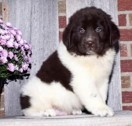 Newfoundland Puppies For Sale Newfoundland Puppies Lancaster Puppies Puppies