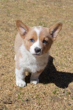 Pembroke Welsh Corgi Puppy For Sale In Colorado Springs Co Adn