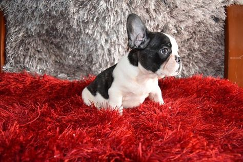 French Bulldog Puppy For Sale In Richmond Hill Ny Adn 33147 On