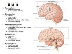 Anatomy H&N 4 - Brain flashcards   Quizlet   Triad   Anatomy ...