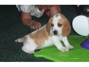 Beagle Puppies For Sale Beagle Puppies For Sale In Kansas Sale In