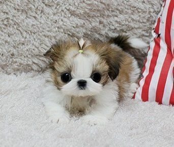 Quality Teacup Shih Tzu Puppies For Sale Shihtzupuppiesforsale Shih Tzu Puppy Teacup Shih Tzu Puppies