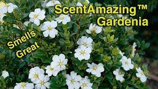 Upright Evergreen Shrub With Fragrant Double White Blooms In