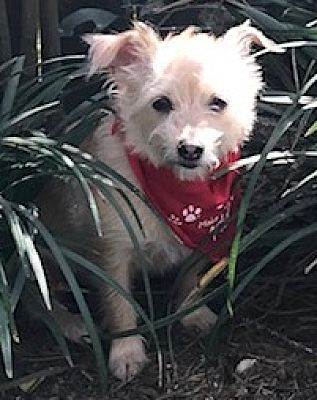 Stamford Ct Cairn Terrier Meet A Maggie A Dog For Adoption