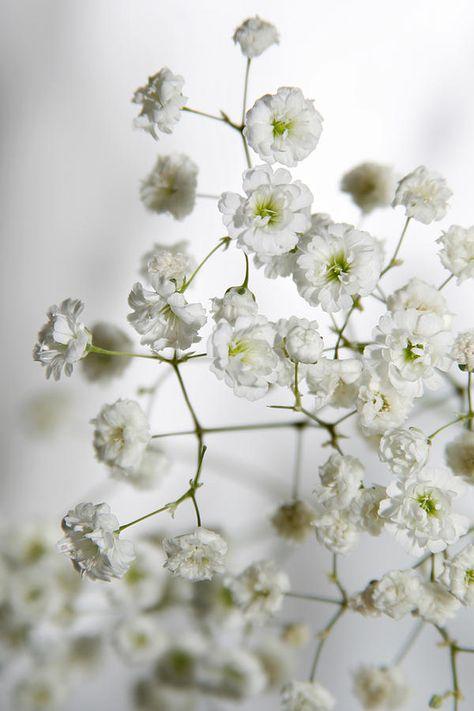Baby Breath Flowers By Masha Batkova Flower Aesthetic Babys Breath Flowers Babys Breath
