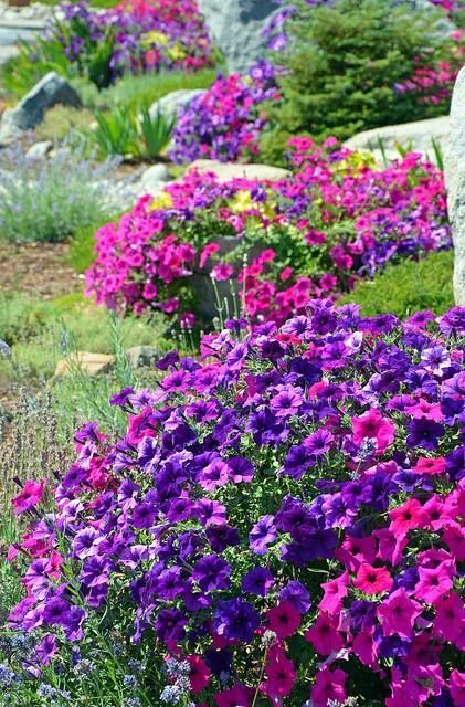 Petunias Are One Of The Most Versatile Bedding Plants Available Originally Available Only In Single Varieties Of With Images Petunias Beautiful Flowers Garden Pink Garden