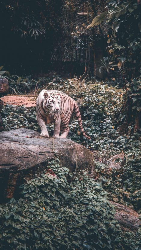 Animal Wallpapers Iphone Wallpapers Tiger Photography Animal Wallpaper White Tiger
