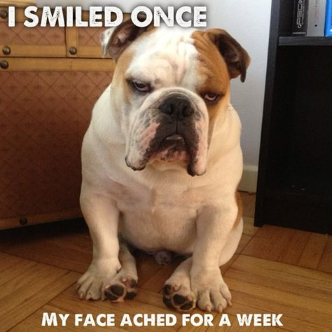 Typical bulldog face, but don't let the expression fool you. They are very playful and happy!