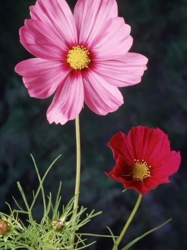 Mixed Cosmos Flowers Photographic Print Russell Burden Art Com In 2020 Cosmos Flowers Flowers Photographic Print