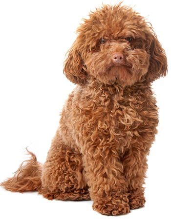 Dogs That Don T Shed The 40 Best Non Shedding Breeds Playbarkrun Cute Dog Mixes Fluffy Dogs Dog Breeds