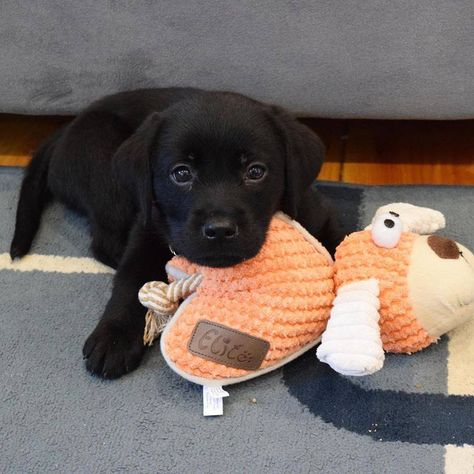 Puppies and their toys = Adorableness Baby Animals Super Cute, Super Cute Puppies, Cute Little Puppies, Cute Little Animals, Cute Dogs And Puppies, Cute Funny Animals, Doggies, Canis Lupus, Black Lab Puppies