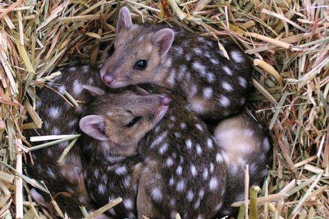 Eastern Quolls Cuddling Dies Of Cute Cute Animals Animals
