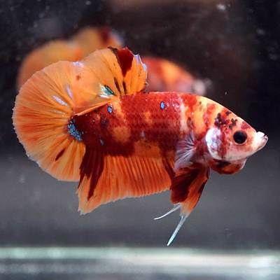 Pin Di Beautiful Betta Fish