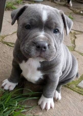 Pitbull Terrier So You Want an American Pit Bull Terrier? Pitbull Terrier, Dogs Pitbull, Bull Terriers, Terrier Dogs, Staffordshire Bull Terrier, Baby Pitbulls, Blue Nose Pitbull, Chihuahua Dogs, Terrier Mix