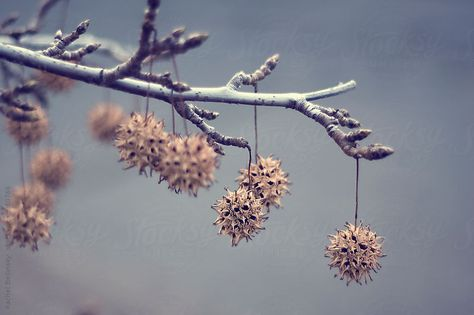 Beautiful Picture Of The Spiky Balls On The Sweetgum Tree Just Like Our Charms Americancharm Ethereal Photography Photography Flowering Trees