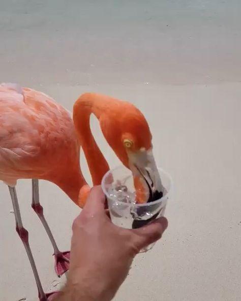 Flamingos on the beach! 🏝 Thirsty in Aruba, Caribena sea. Video by @argenel