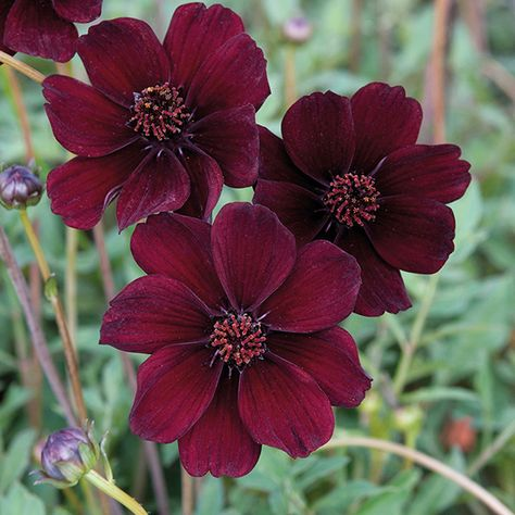 Cosmos Eclipse is the newest chocolate scented strain. The deep burgundy blooms are highly fragrant, good for cutting and are ideal for pots and containers.