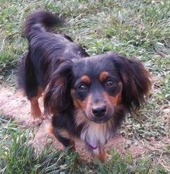 Tank Mini Dachshund Is An Adoptable Dachshund Dog In Crocker Mo