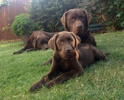 Uk Labrador Breeders Chocolate Labrador Puppies For Sale Labrador Retriever Labrador Retriever Puppies Black Labrador Retriever