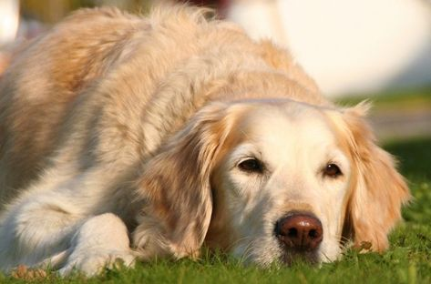 Is Your Dog Limping Canine Limping And Lameness Is A Common Sign
